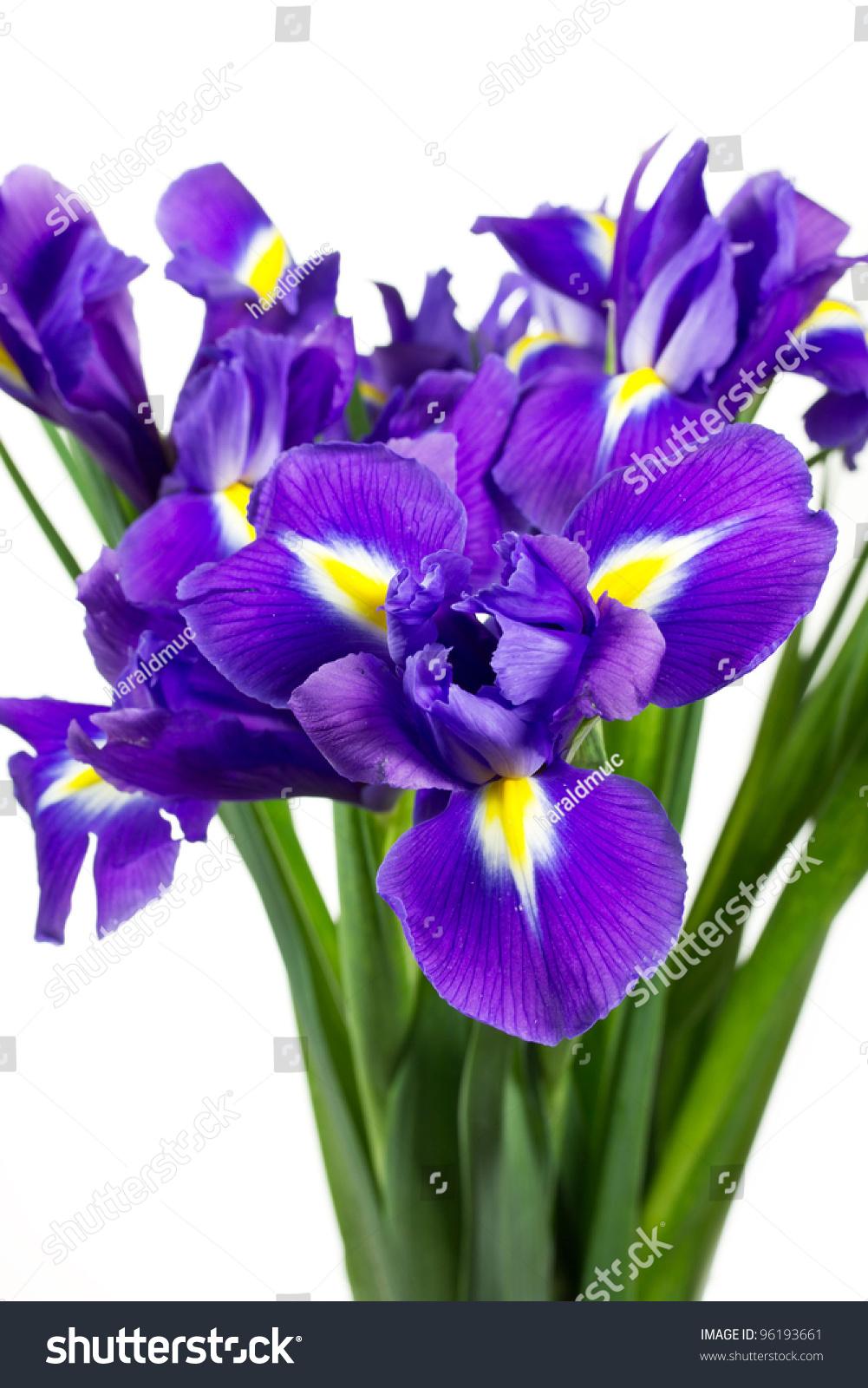 Dark purple iris flowers isolated on white background ez canvas id 96193661 izmirmasajfo