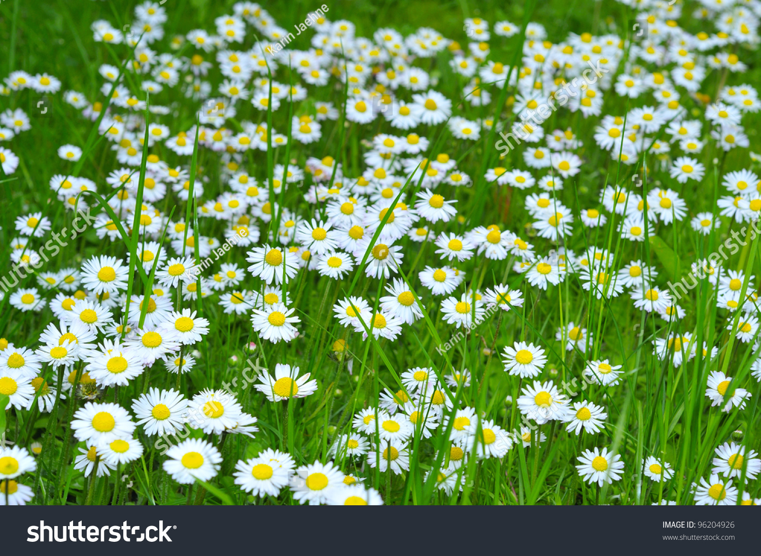 Field daisy flowers stock photo royalty free 96204926 shutterstock field of daisy flowers izmirmasajfo