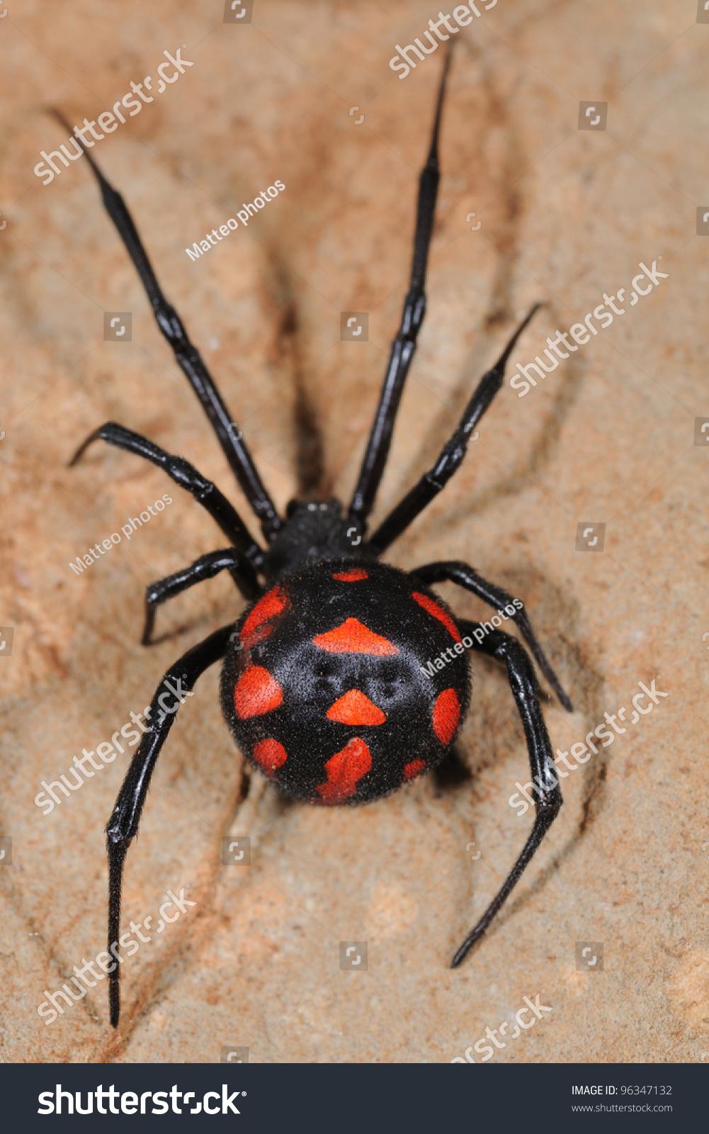 Widow Spider - Latrodectus