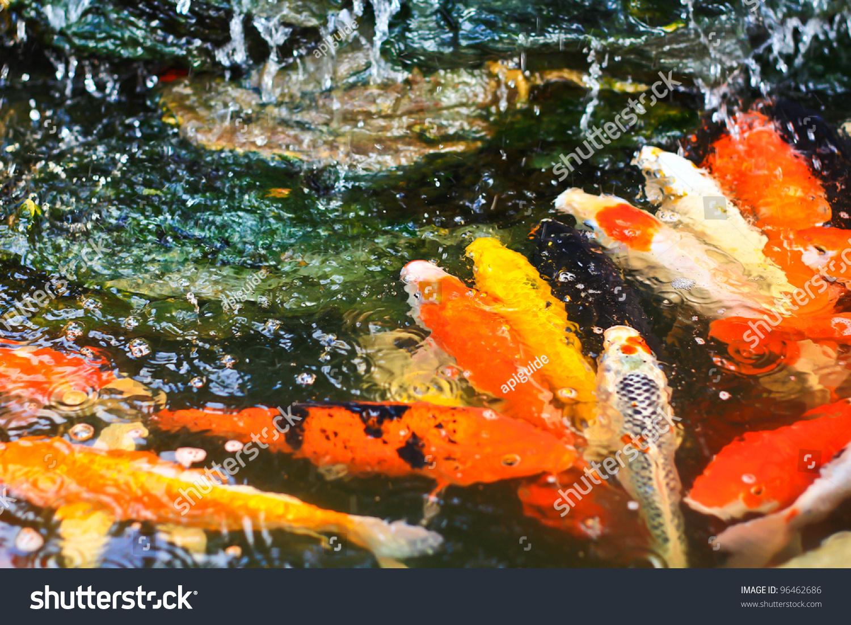 Colorful koi or carp stock photo 96462686 shutterstock for Koi carp colours