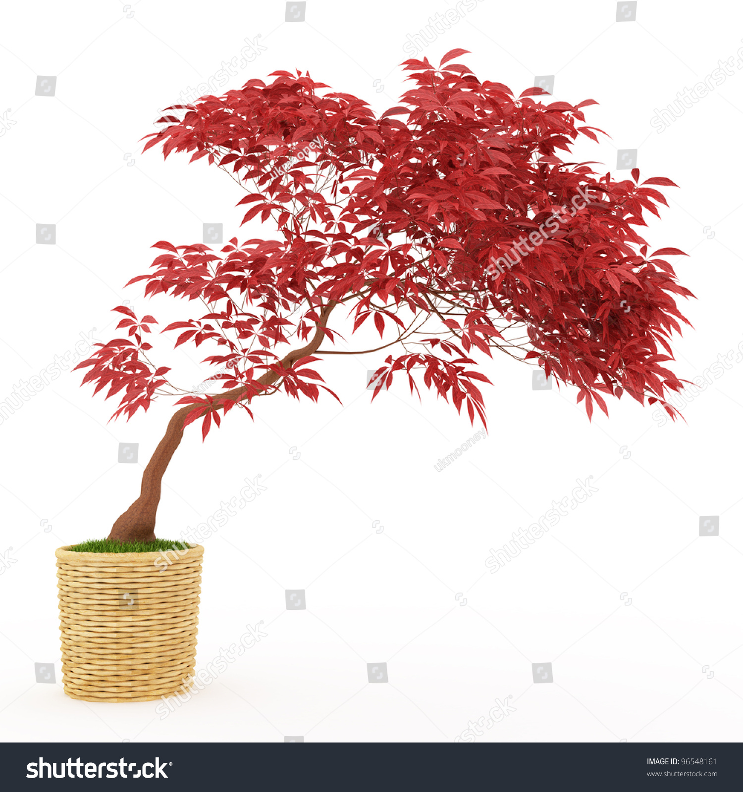 Bonsai Japanese Maple ...