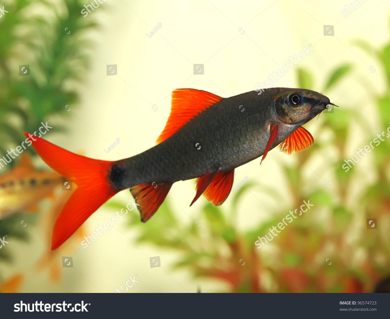 Fish tail fish beautiful - photo#8