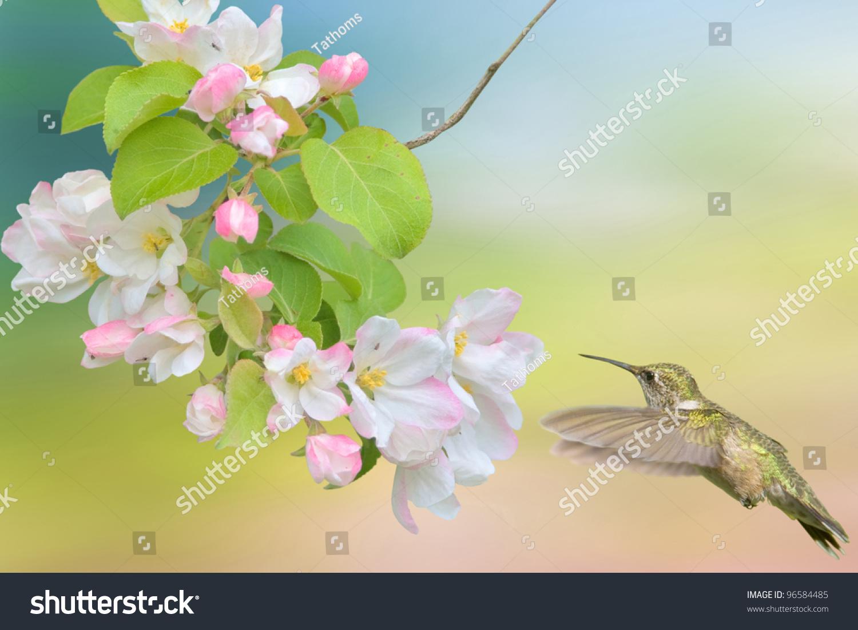 Hummingbird hovering around apple blossom. Latin name - Archilochus colubris.Focus on bird.