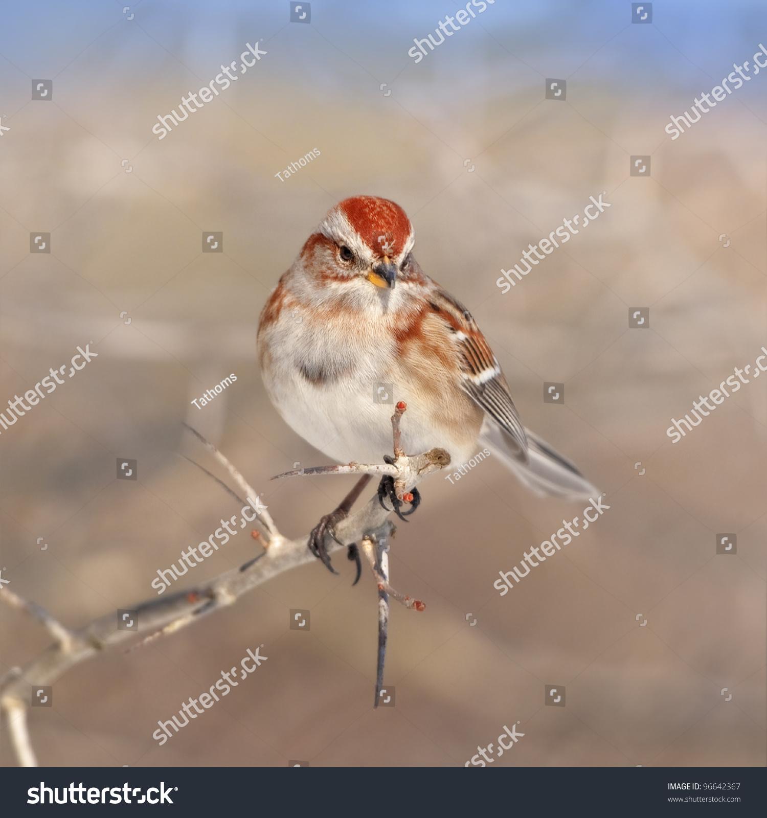 American Tree sparrow. Latin name - Spizella arborea.