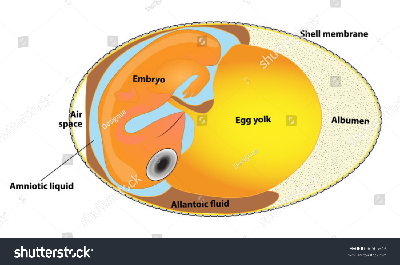Chicken Anatomy Diagram Egg Path - Electrical Work Wiring Diagram •
