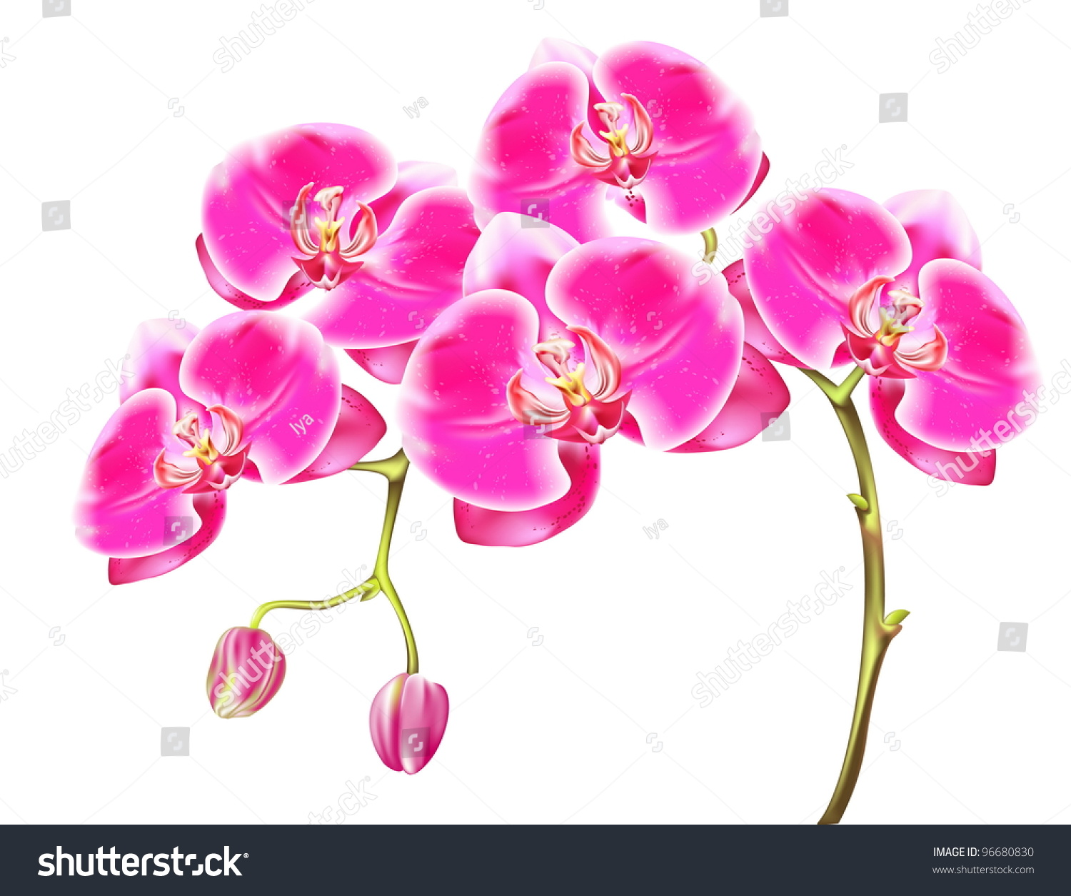 Drawing Sprigs Of Pink Orchids Stock Vector Illustration 96680830 ...