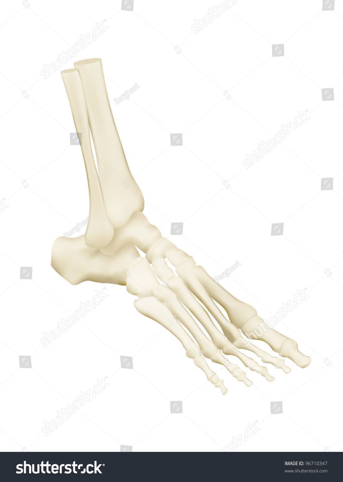 Human Foot Bones Anatomy Stock Vector 96710347 - Shutterstock