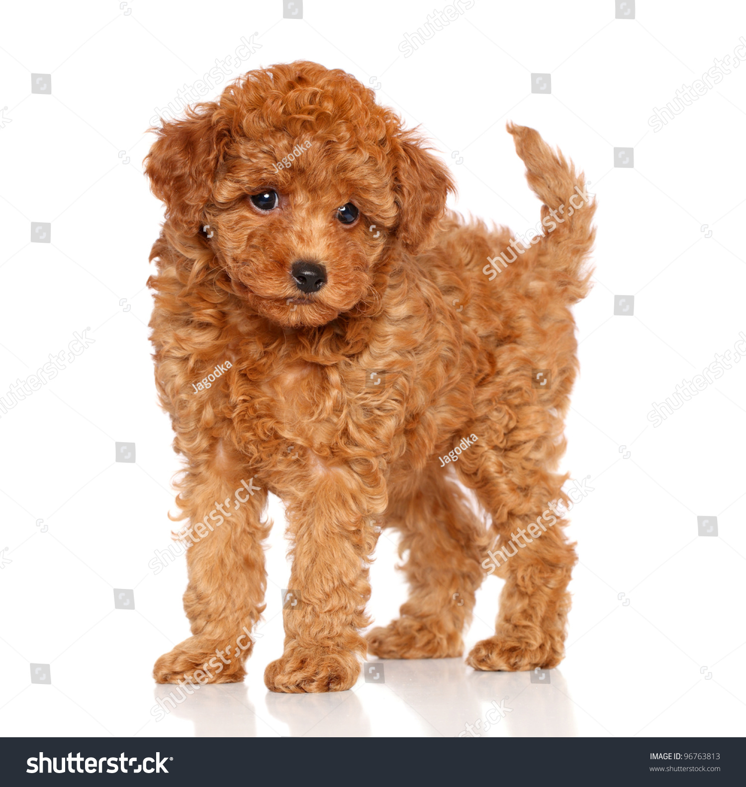 Red Toy Dogs : Red toy poodle puppy on white stock photo