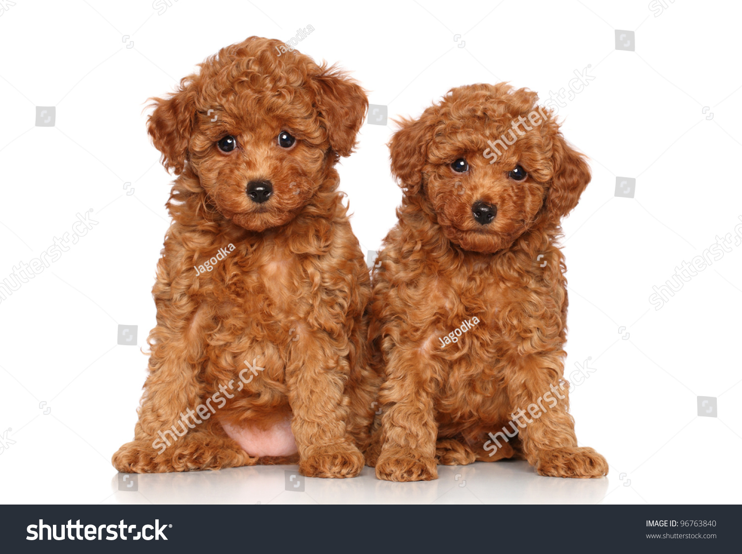 Red Toy Dogs : Red toy poodle puppies portrait on a white background