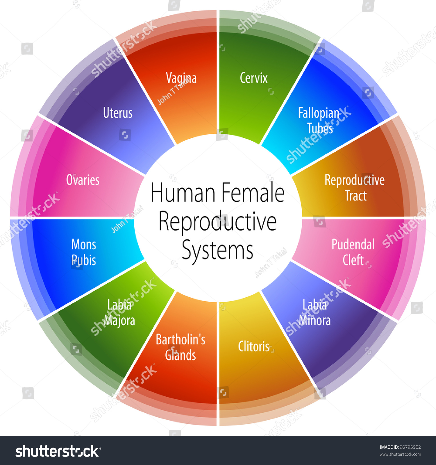 Image Human Female Reproductive Systems Chart Stock Vector 96795952 ...