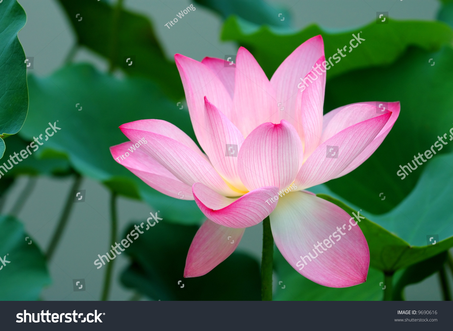 Blooming of a lotus flower on pond ez canvas id 9690616 izmirmasajfo