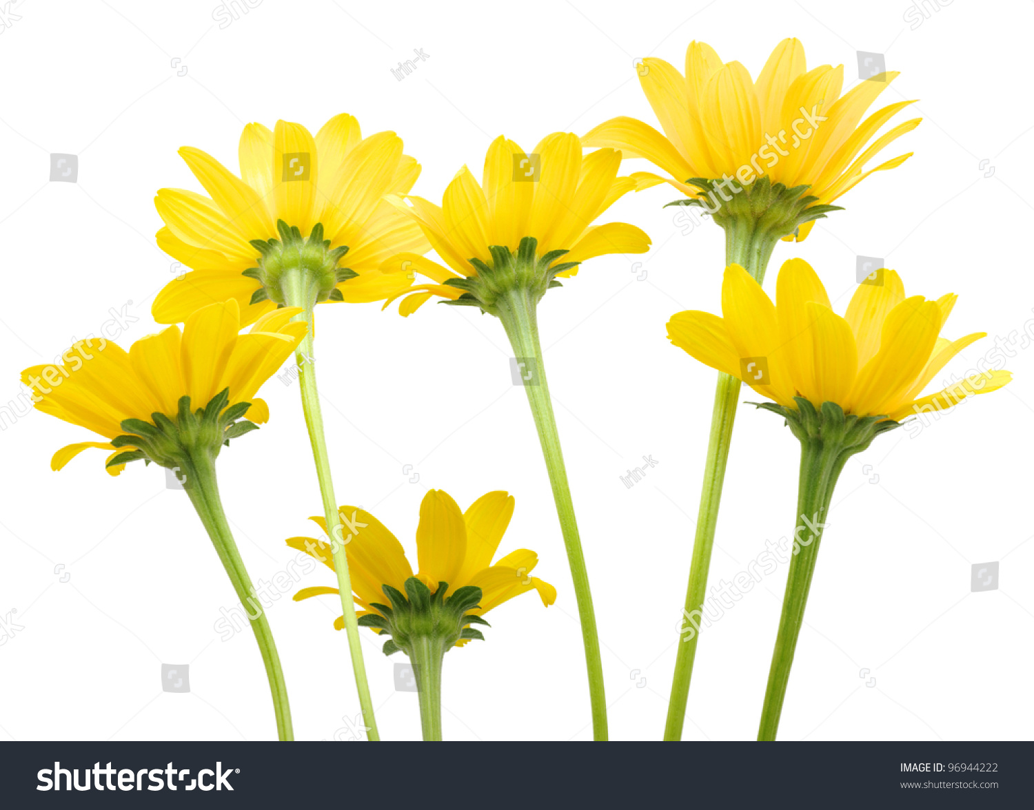 Bunch Of Yellow Daisy Flowers On White Background Ez Canvas