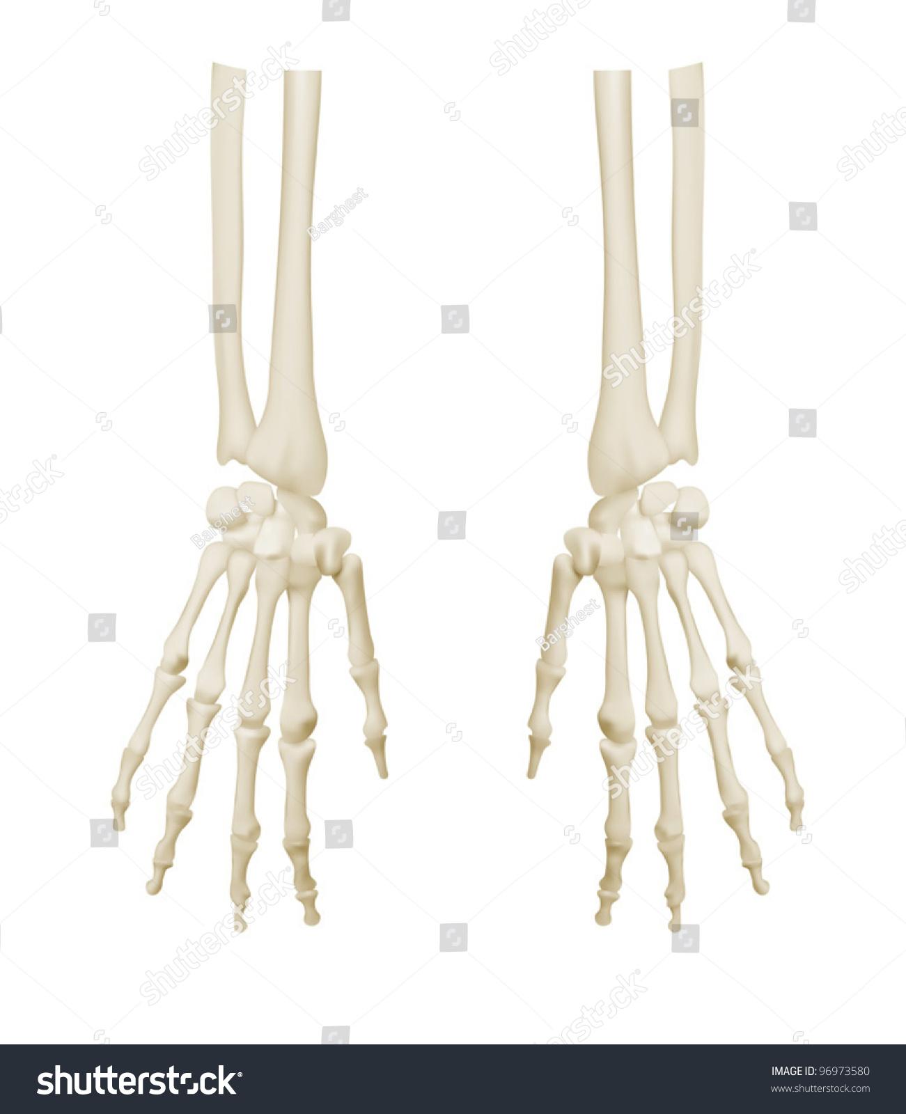 Hands Anatomy Teaching Model Bones Stock Vector 96973580 - Shutterstock