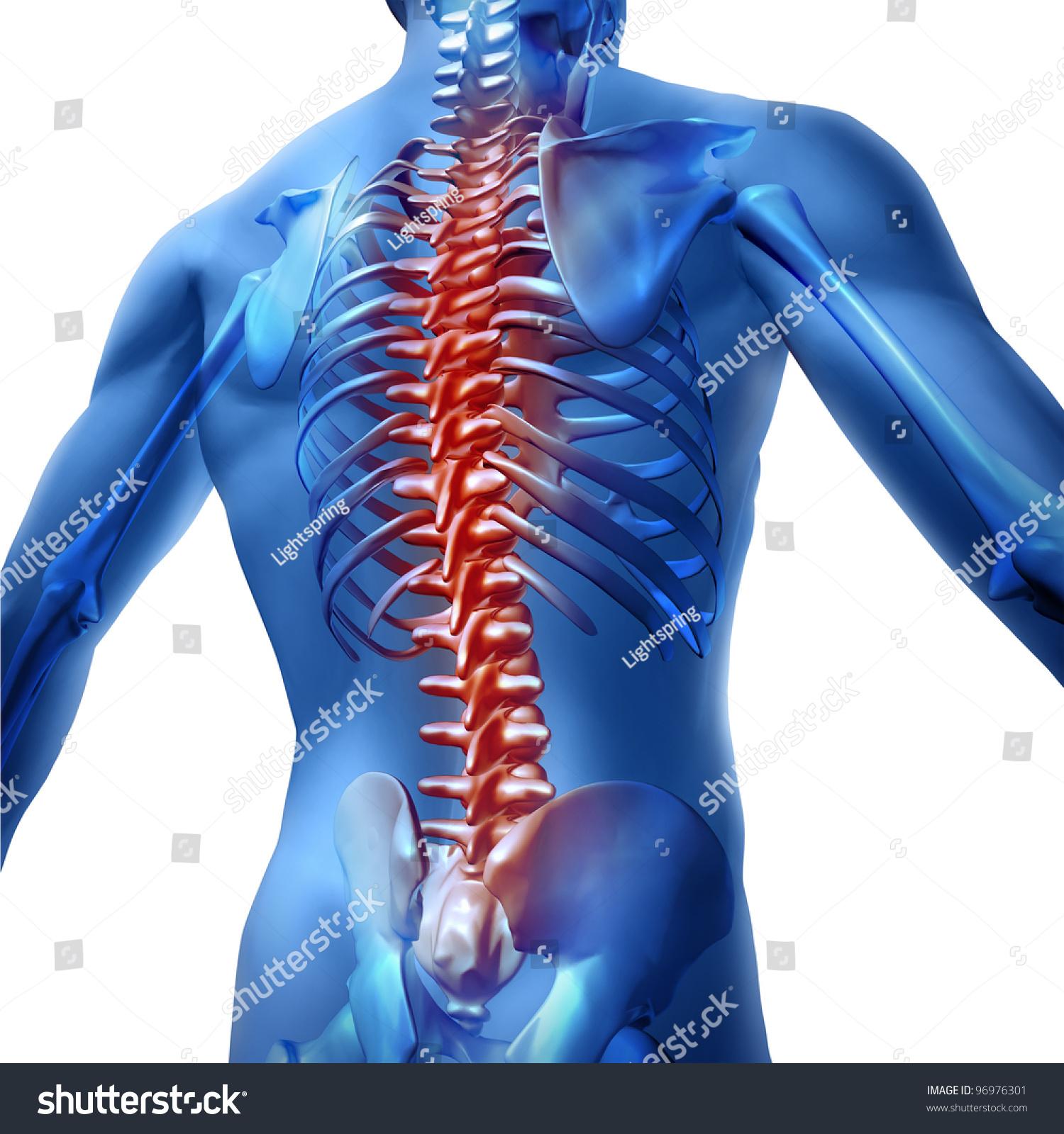 Human skeleton back spine - photo#28