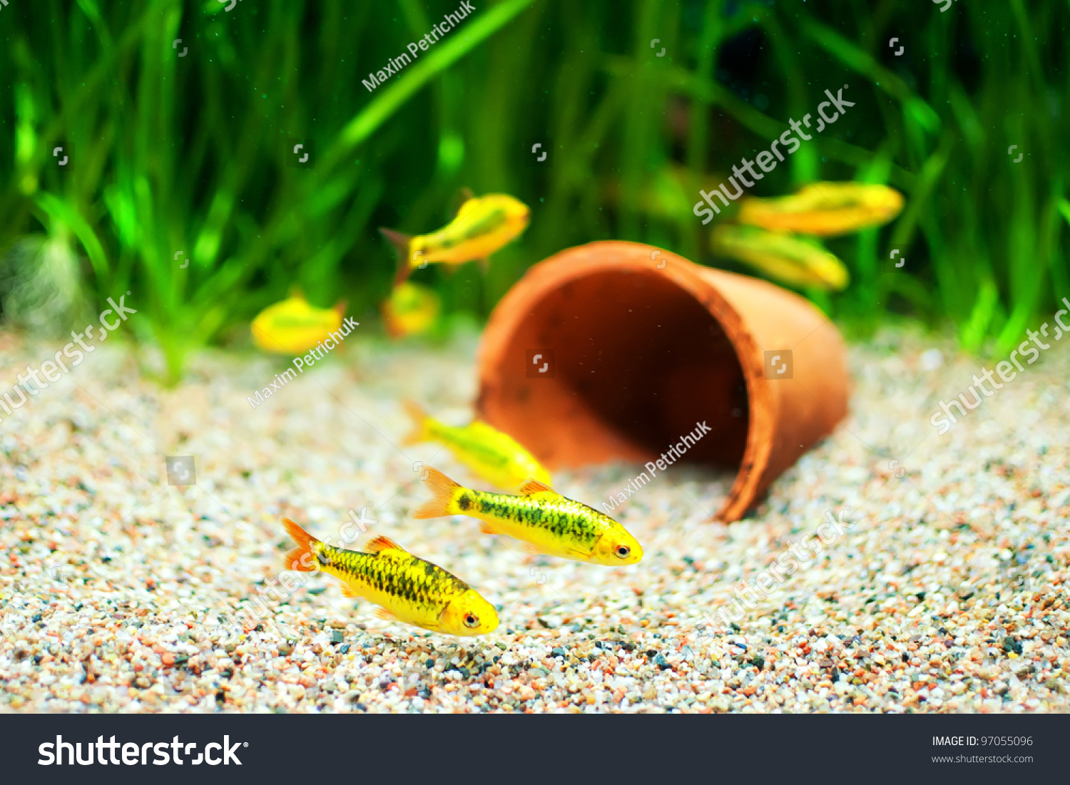 Small fish for freshwater aquarium - Group Of A Small Gold Barb Fish In An Aquarium