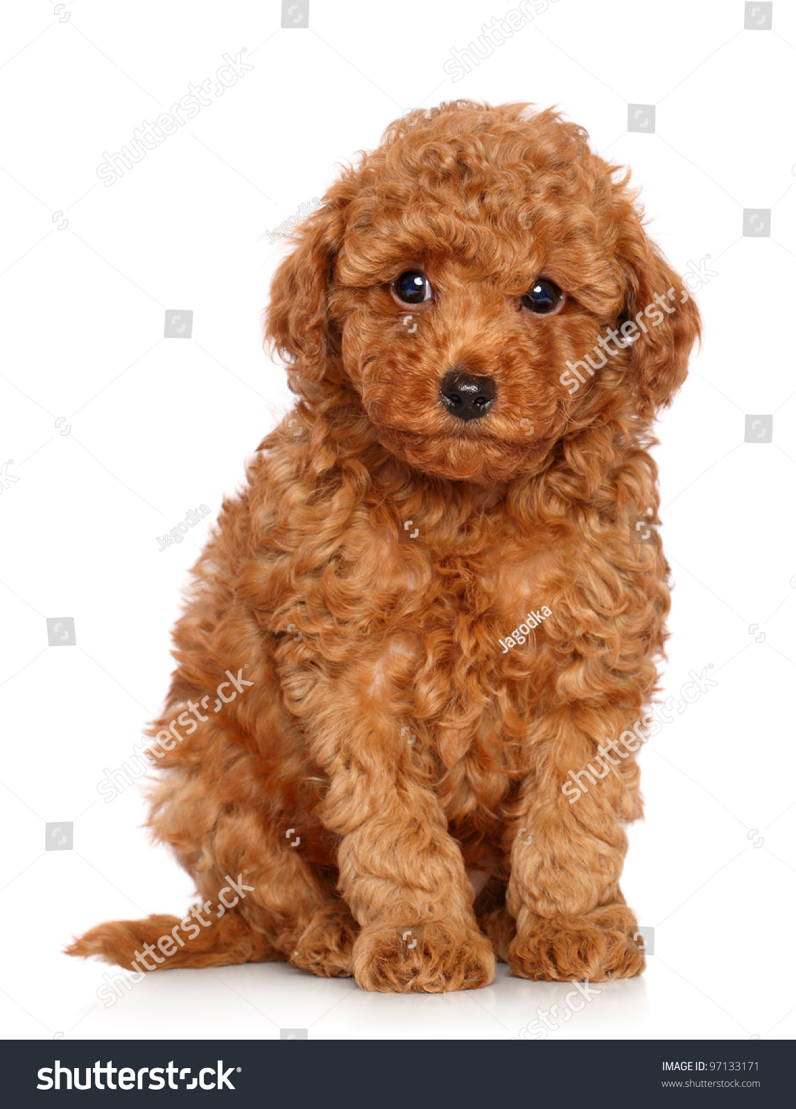 Red Toy Poodle Puppy Sits On Stock Photo Edit Now 97133171