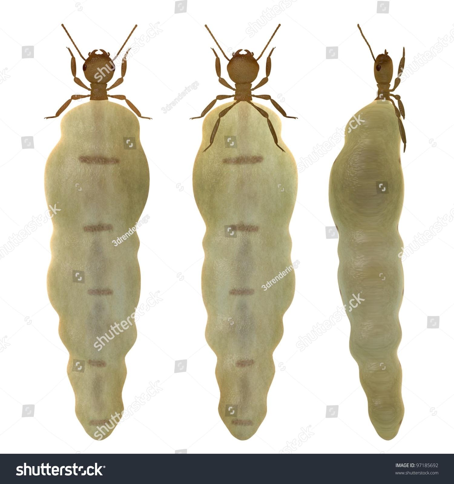 Termite Termite Queen