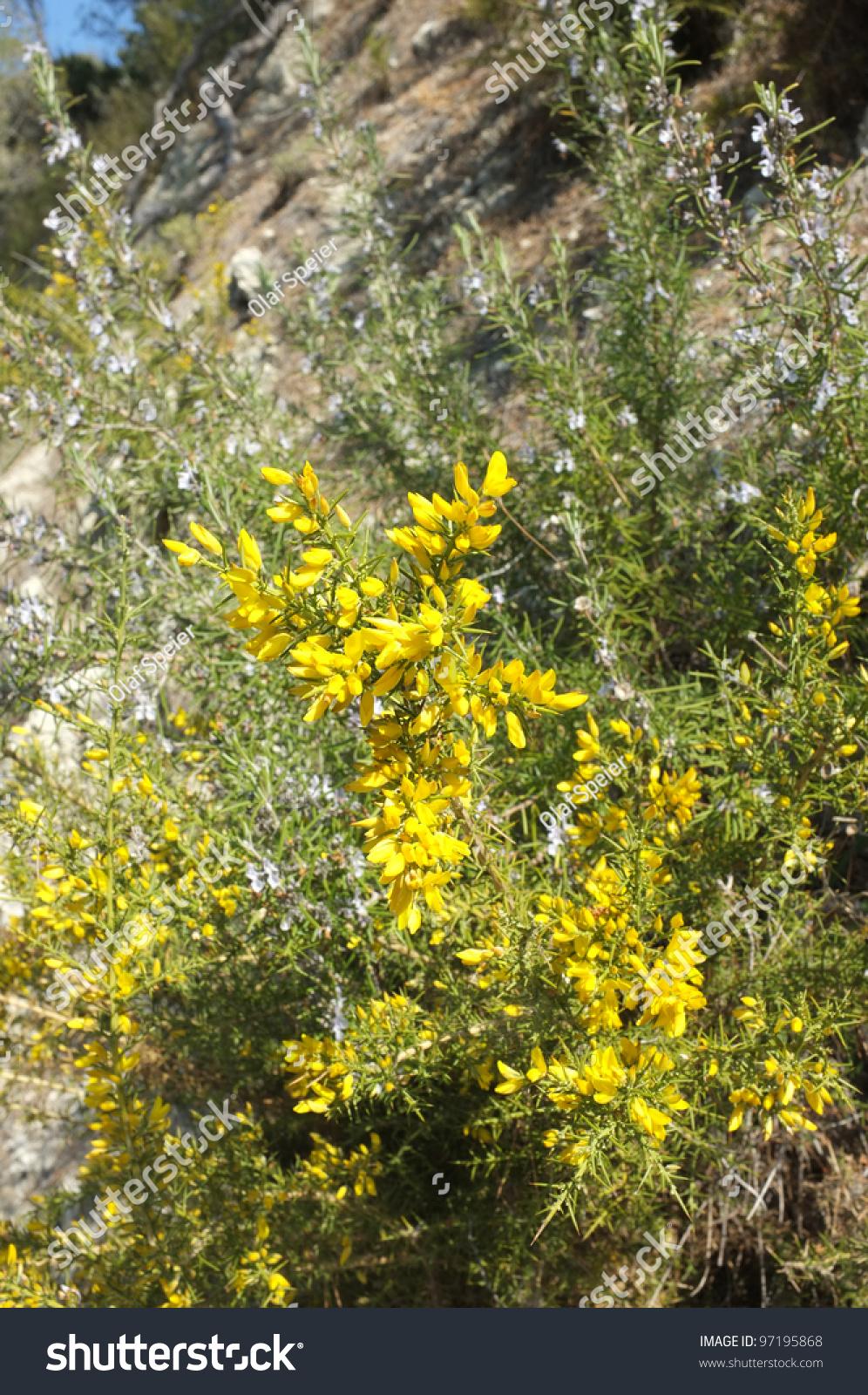 Yellow Green Broom Rosemary Flowering Mediterranean Stock Photo
