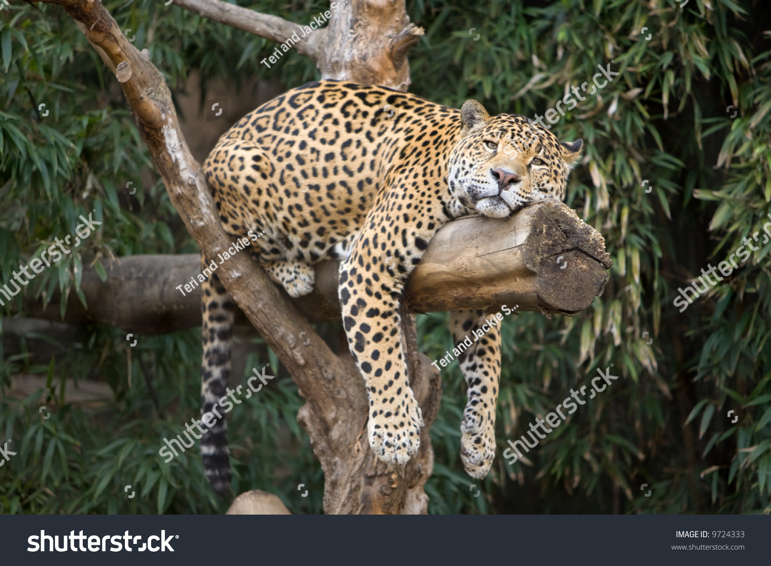 big beautiful leopard resting on tree stock photo 9724333