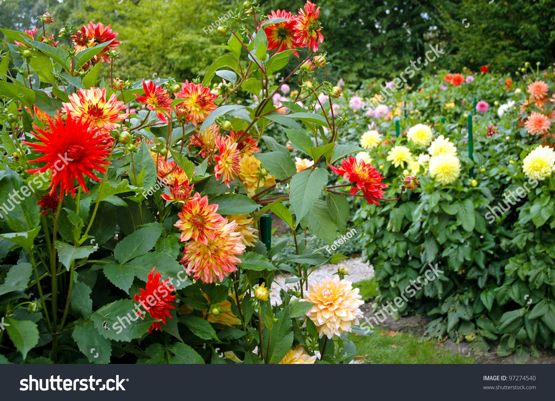 Garden full different varieties dahlia flowers stock photo royalty garden full of different varieties of dahlia flowers izmirmasajfo
