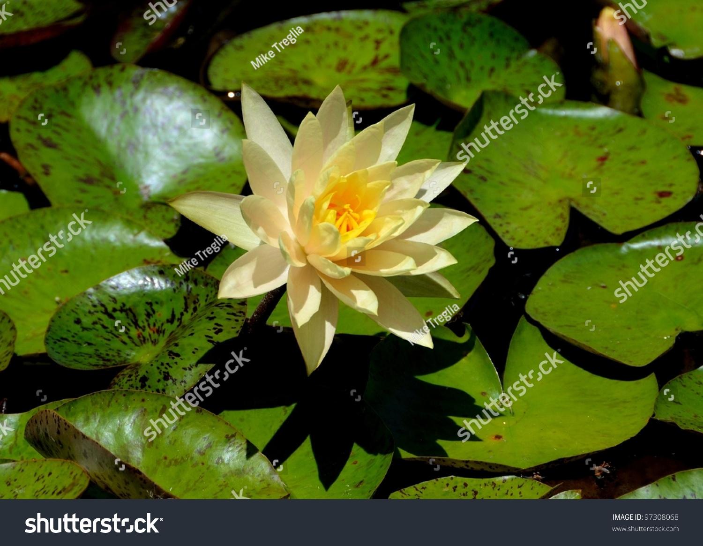 Beautiful yellow water lily flower ez canvas izmirmasajfo