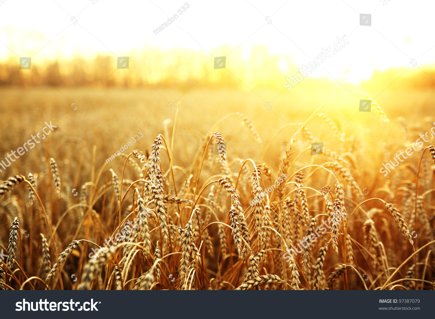 backdrop of ripening ears of yellow wheat field on the sunset cloudy orange sky background. Copy space of the setting sun rays on horizon in rural meadow Close up nature photo  Idea of a rich harvest #97387079