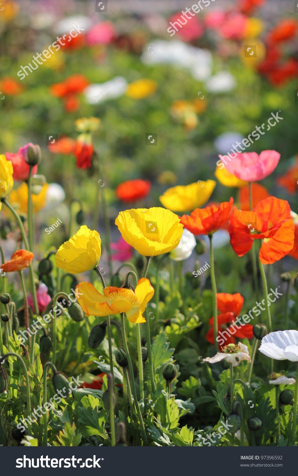 Poppy Flower Field Stock Photo 97396592 Shutterstock