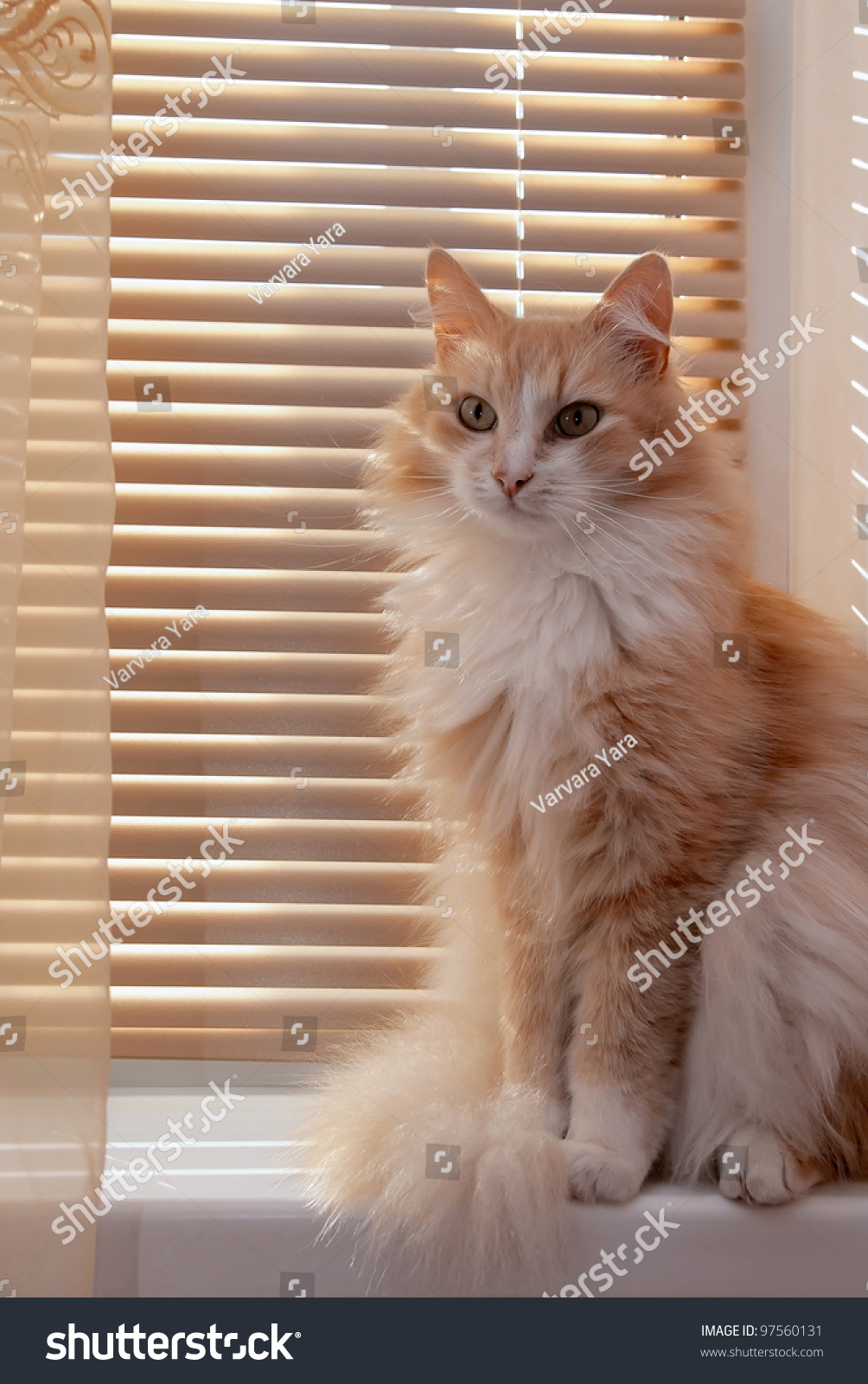 Beautiful siberian cat beige color sits on the window for Beautiful beige paint colors