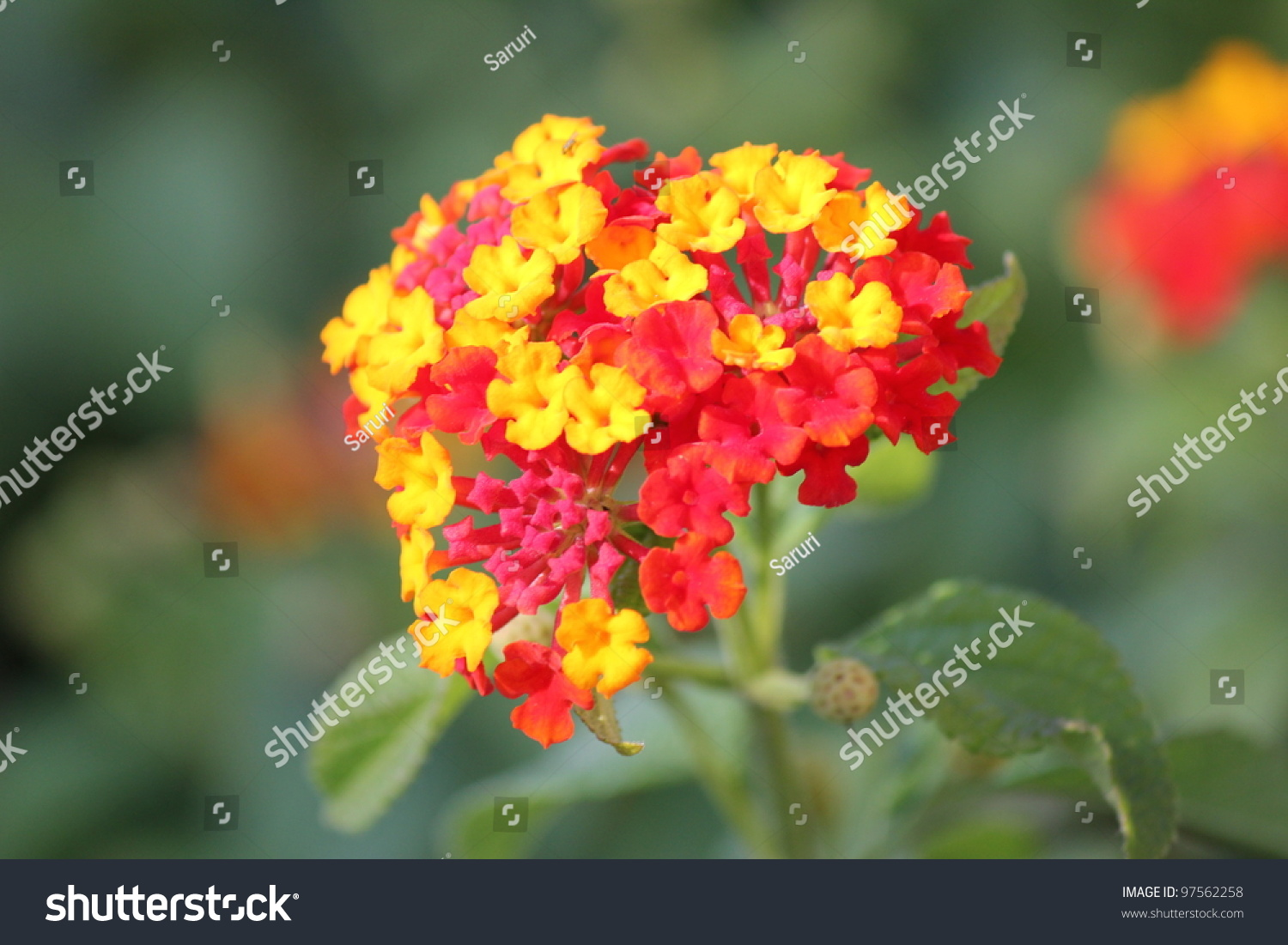 Yellow Red Flower Stock Photo Edit Now 97562258 Shutterstock