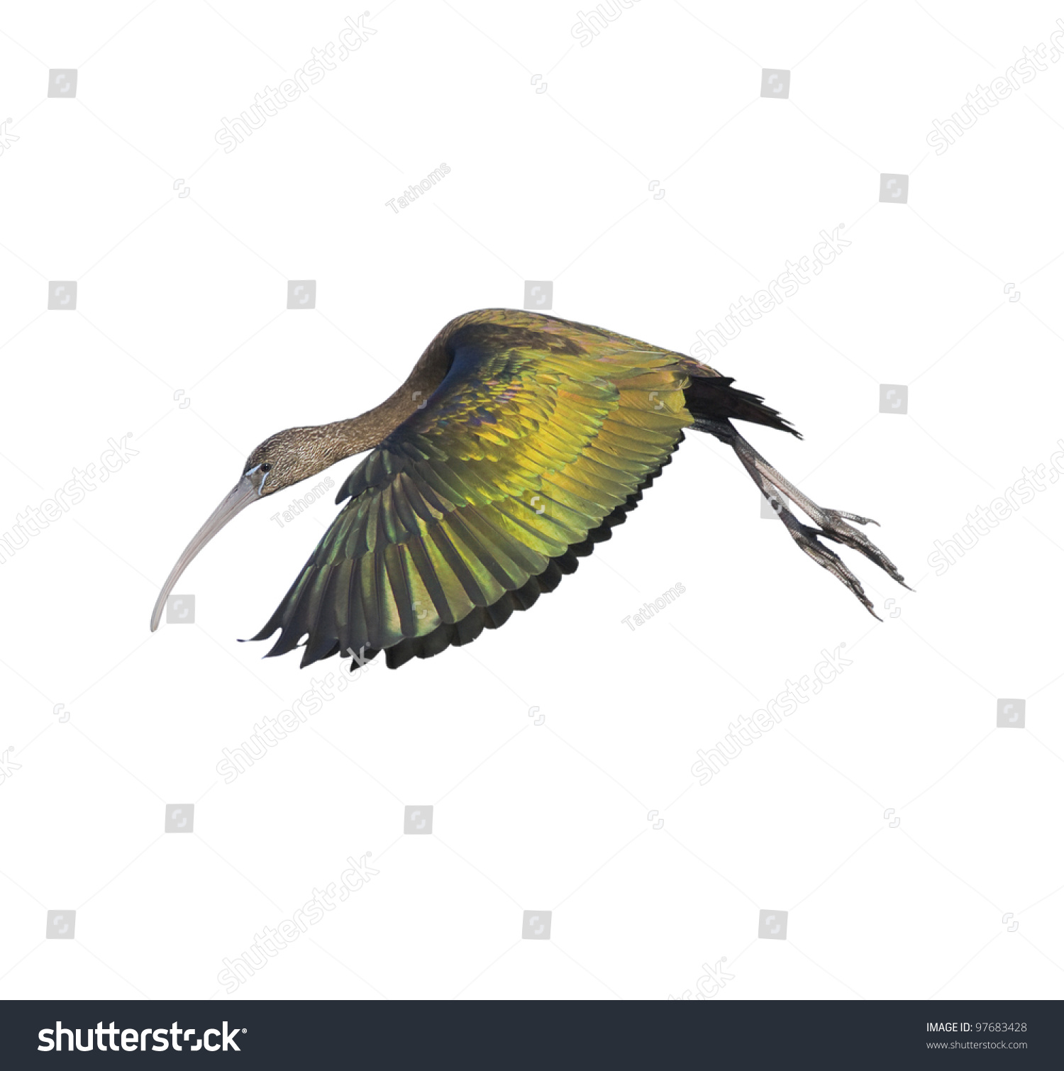 Glossy ibis in flight, isolated on white. Latin name - Plegadis falcinellus.