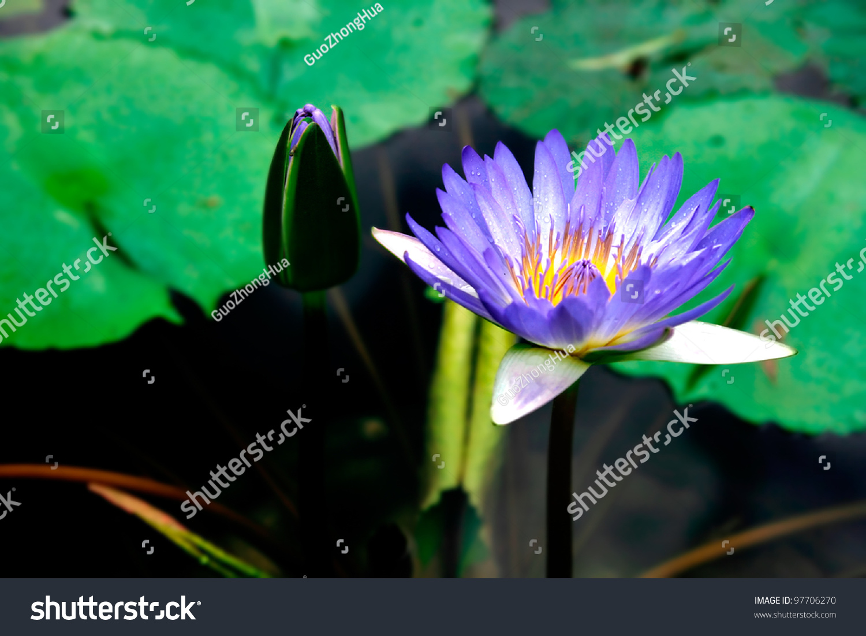 Lotus Flower Stock Photo Edit Now 97706270 Shutterstock