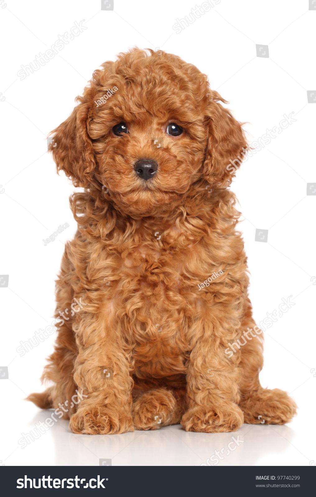 Your friend is a dwarf poodle