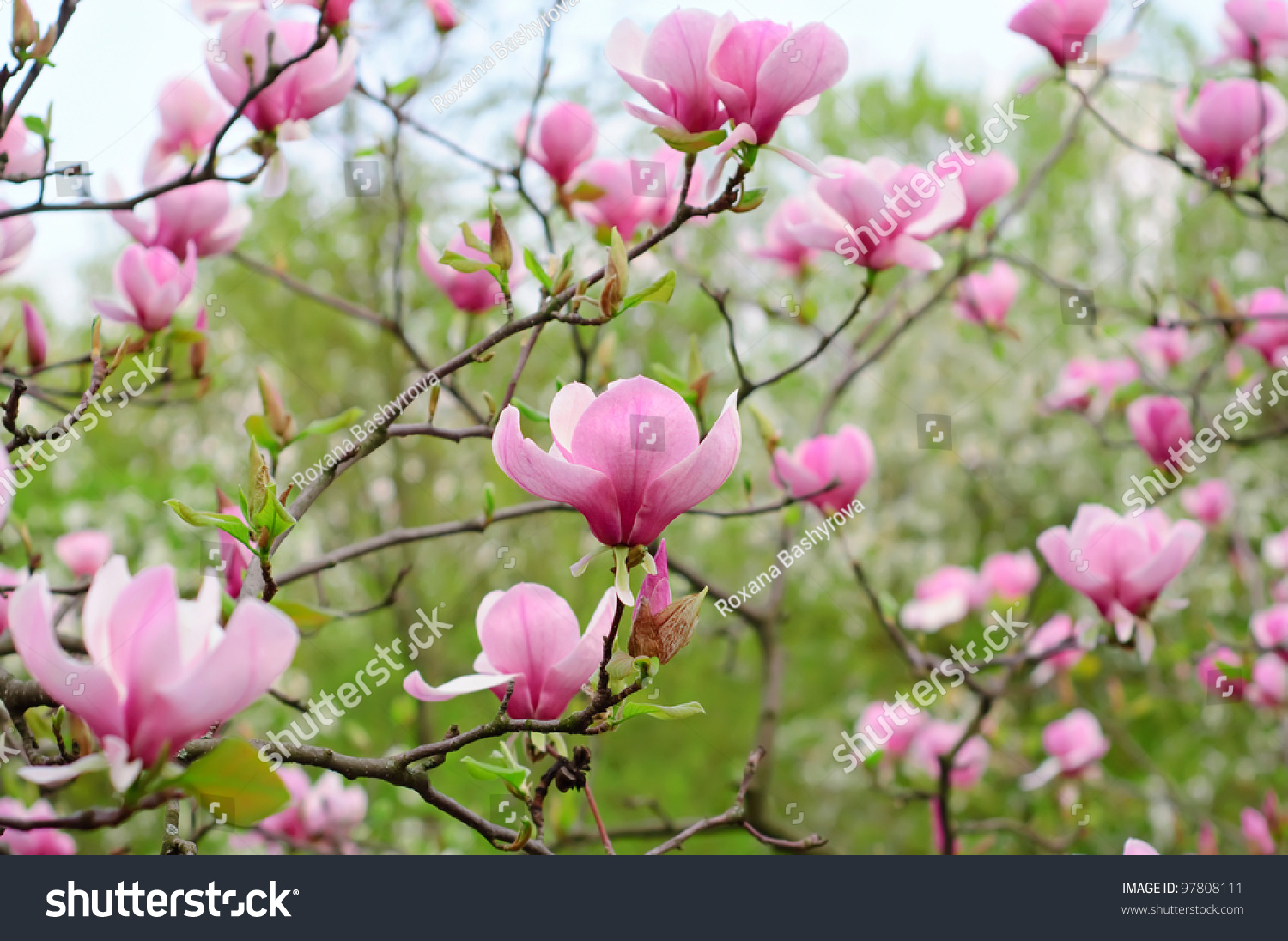 Blossoming Magnolia Flowers Spring Time Stock Photo Safe To Use