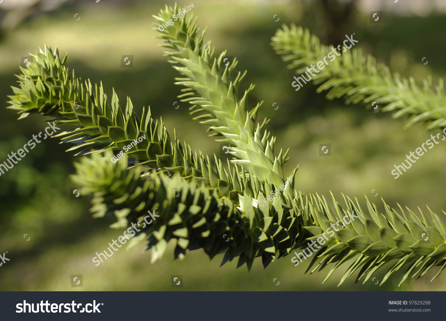 how to grow an evergreen tree from a branch