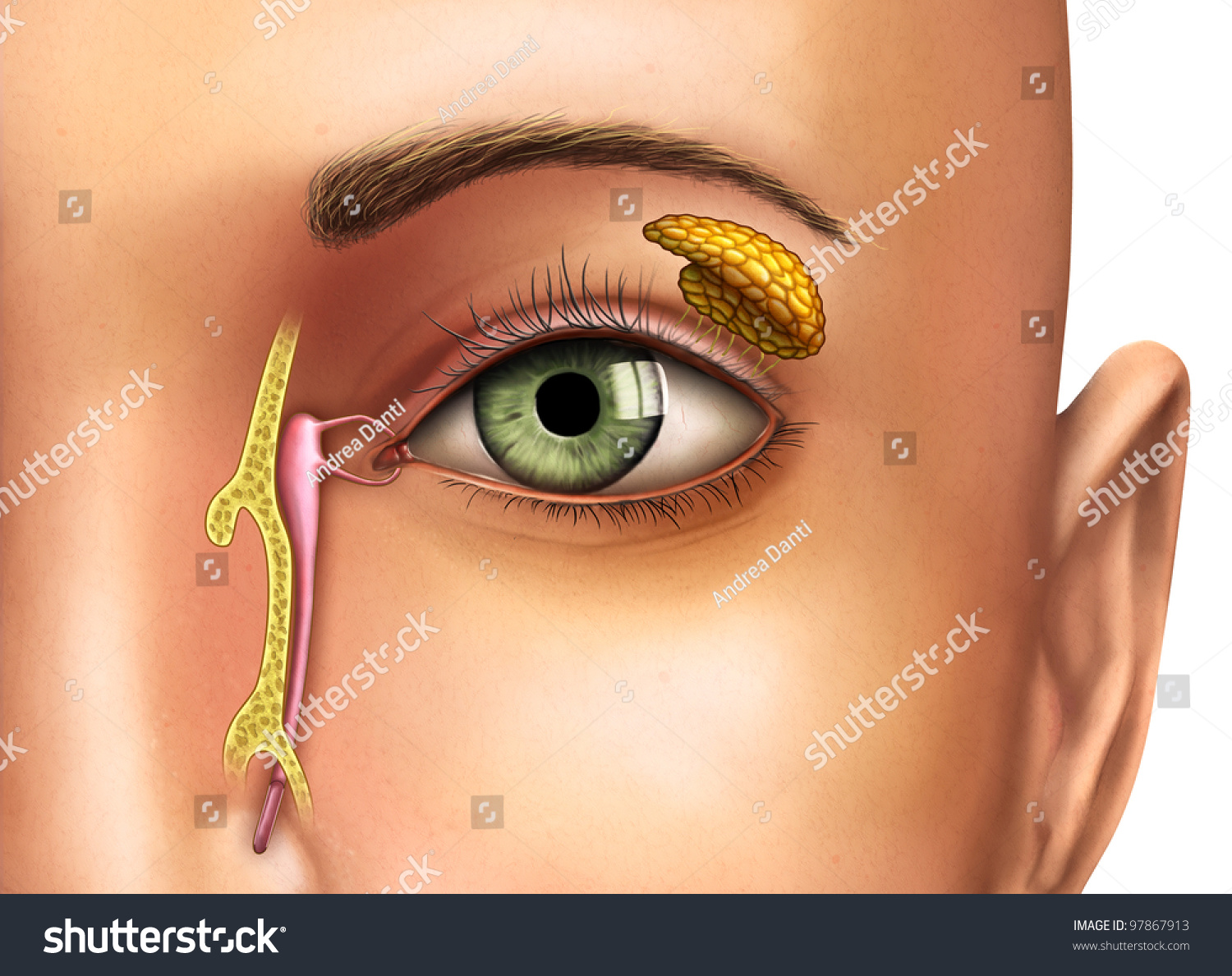 Anatomy Drawing Showing Functioning Lacrimal Glands Stock