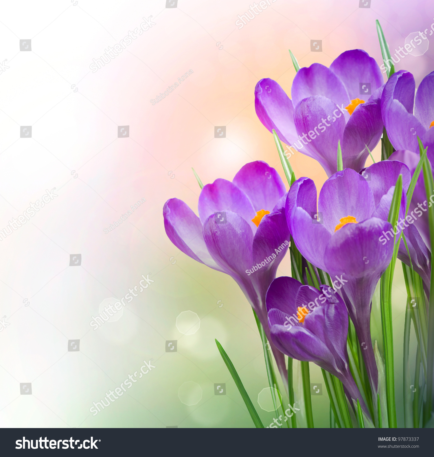 Royalty free crocus spring flowers 97873337 stock photo avopix crocus spring flowers 97873337 mightylinksfo Images