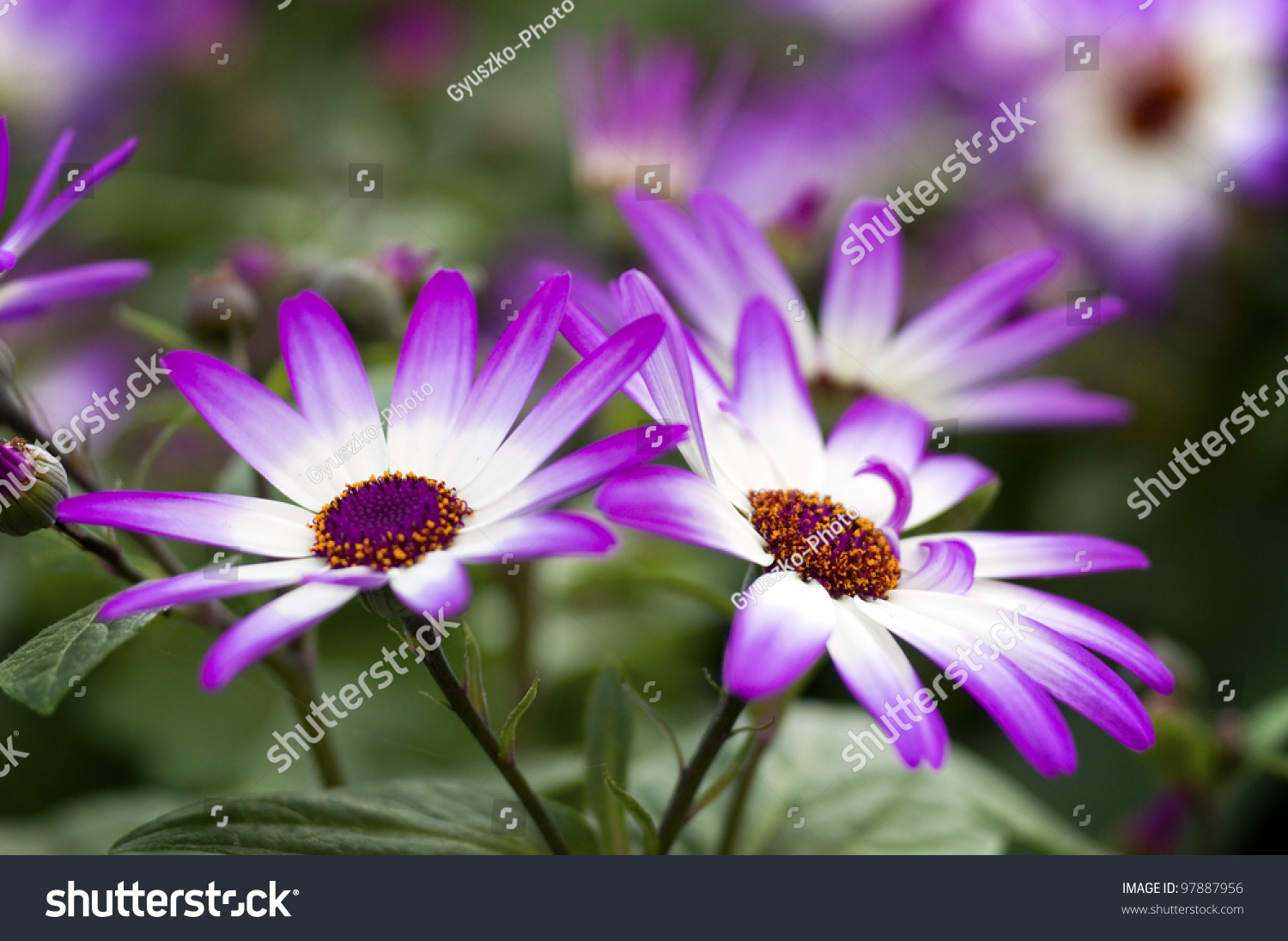 Cineraria Flower And Bee Closeup Background And Texture Ez Canvas