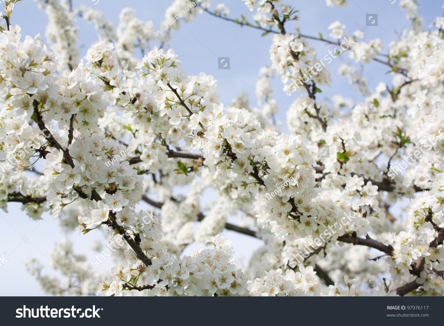 Bunches Plum Blossom White Flowers Against Stock Photo Royalty Free