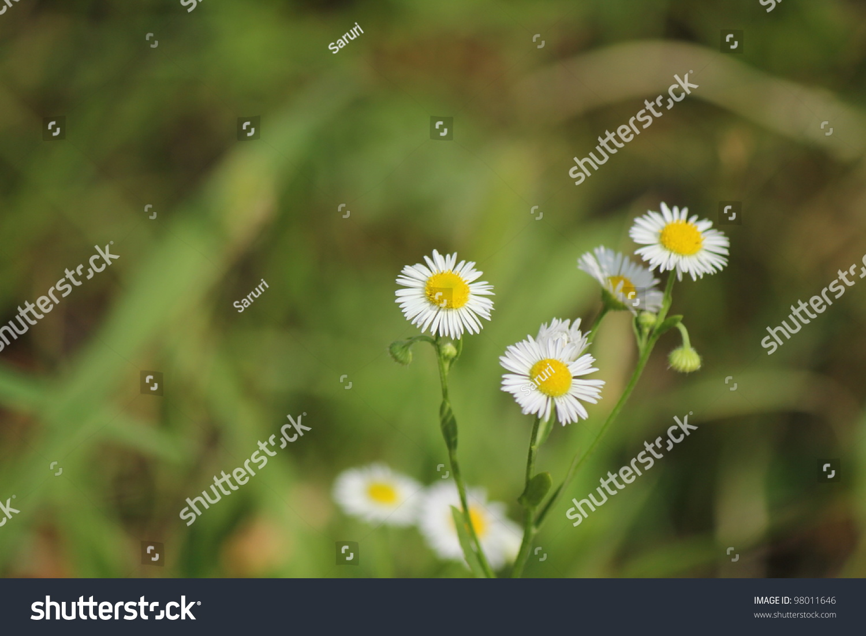 Small wild daisy flower stock photo edit now 98011646 shutterstock small wild daisy flower izmirmasajfo
