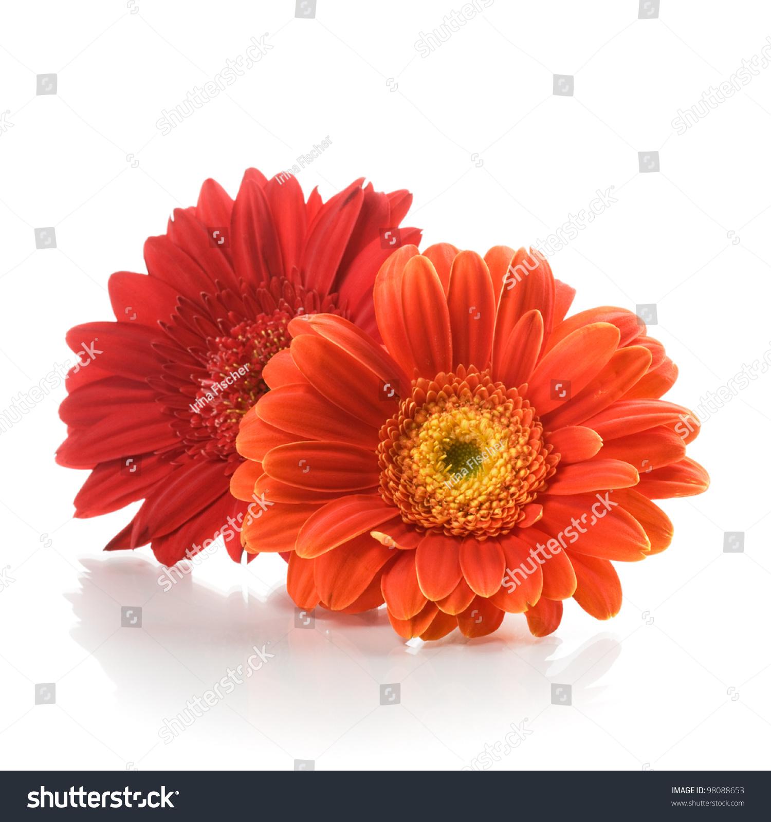Two red gerbera daisy flowers on white background ez canvas id 98088653 izmirmasajfo