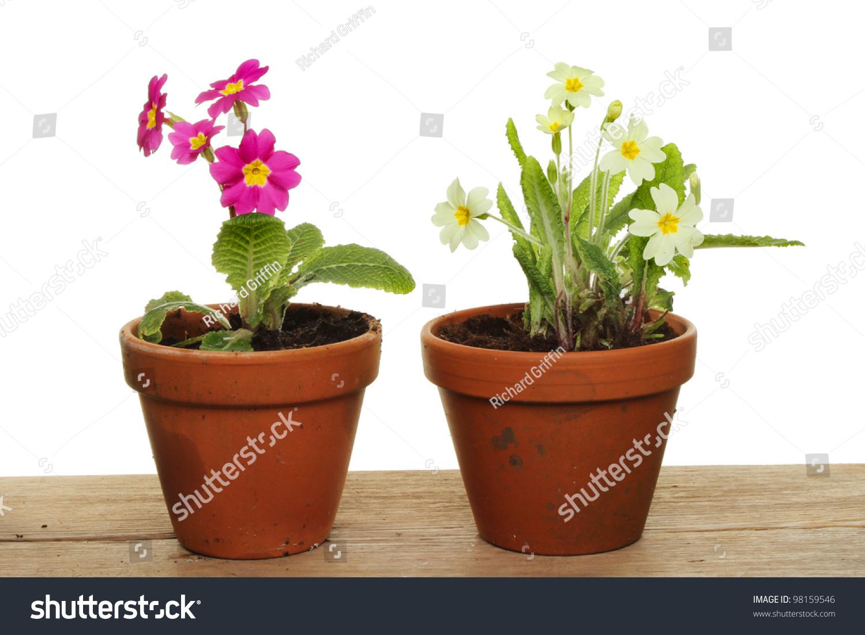 Primrose Plants Purple Yellow Flowers Terracotta Stock Photo Edit
