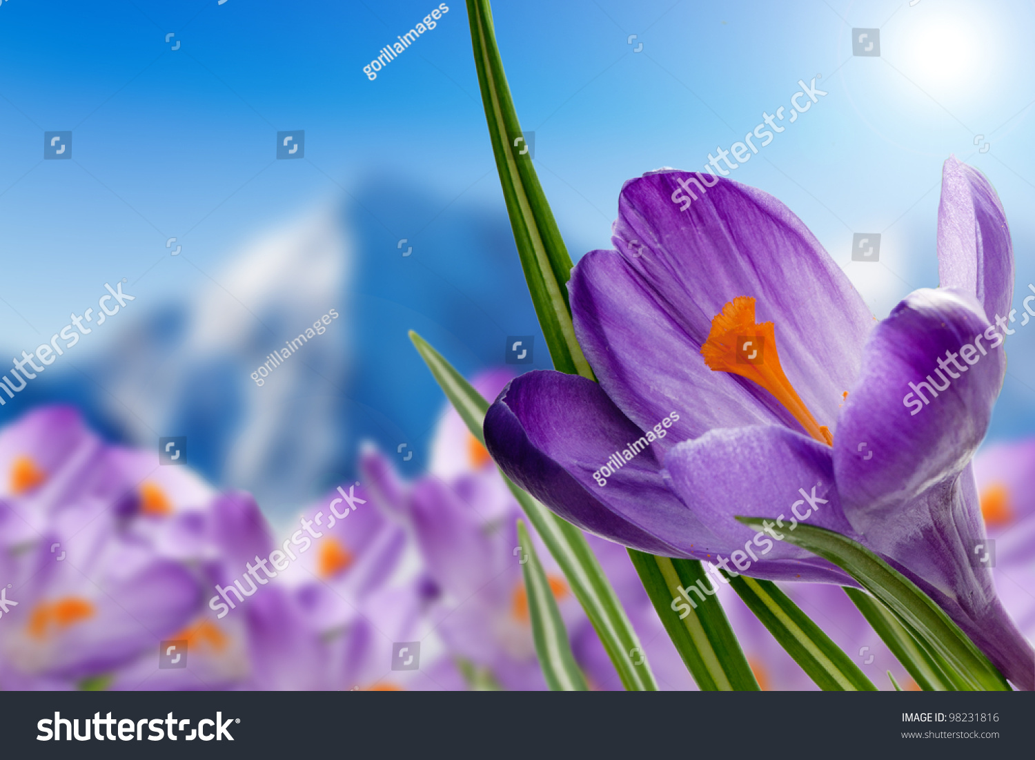 Spring Crocus Flowers Snow Background Snowy Stock Photo Edit Now