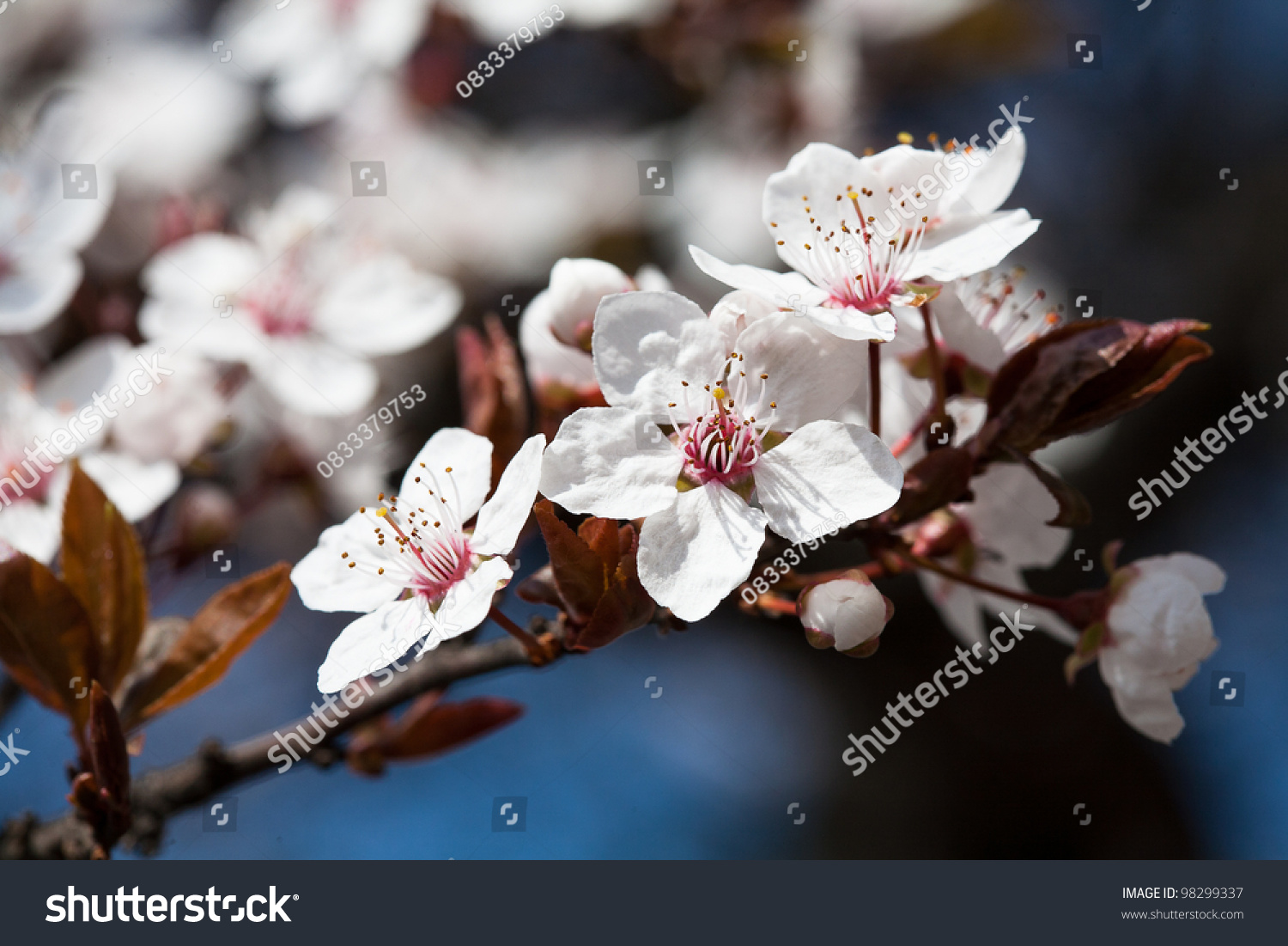Early Spring Flowering Trees White Petals Stock Photo Royalty Free