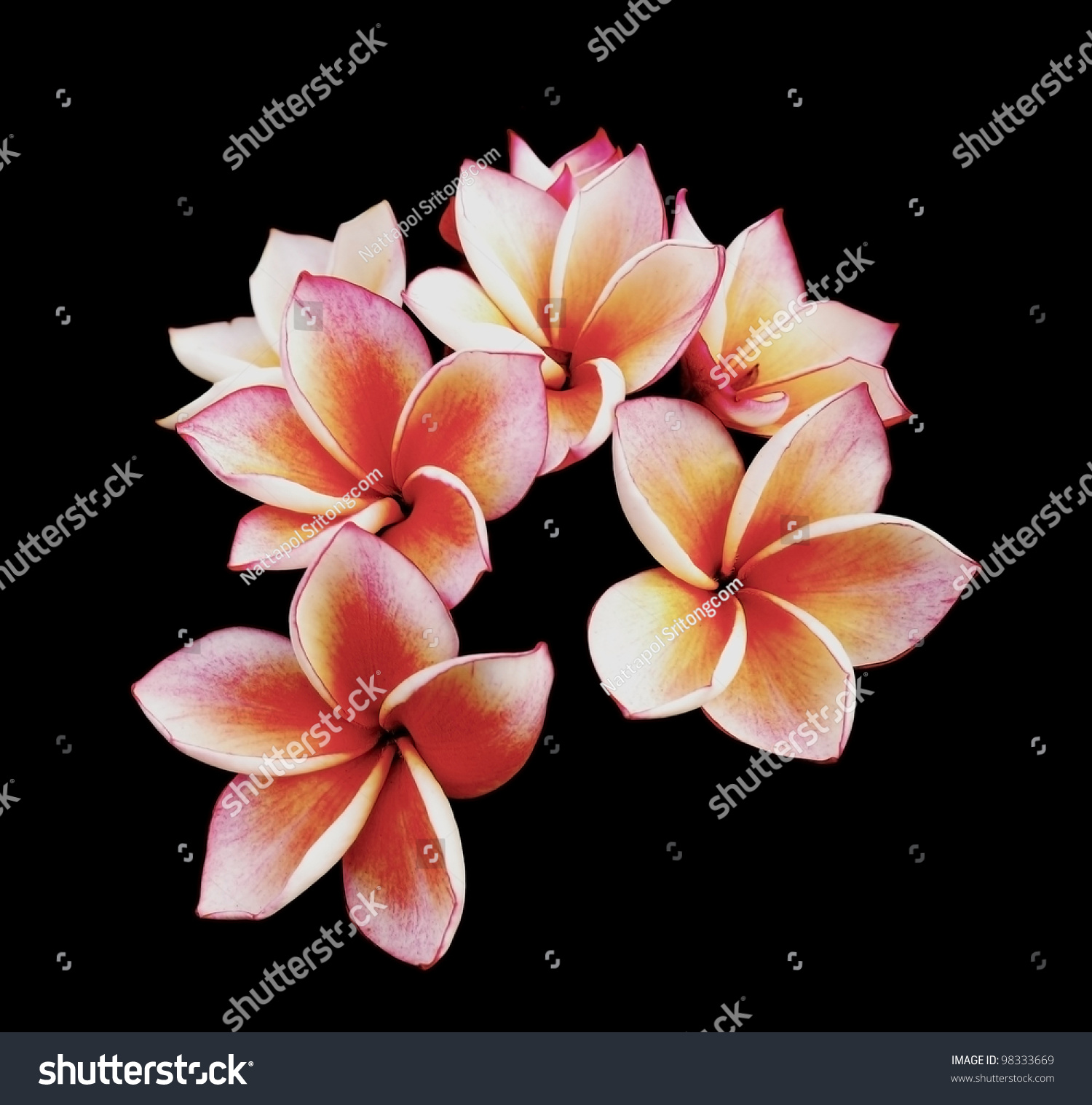 Glorious frangipani plumeria flowers black background stock glorious frangipani or plumeria flowers with black background dhlflorist Gallery