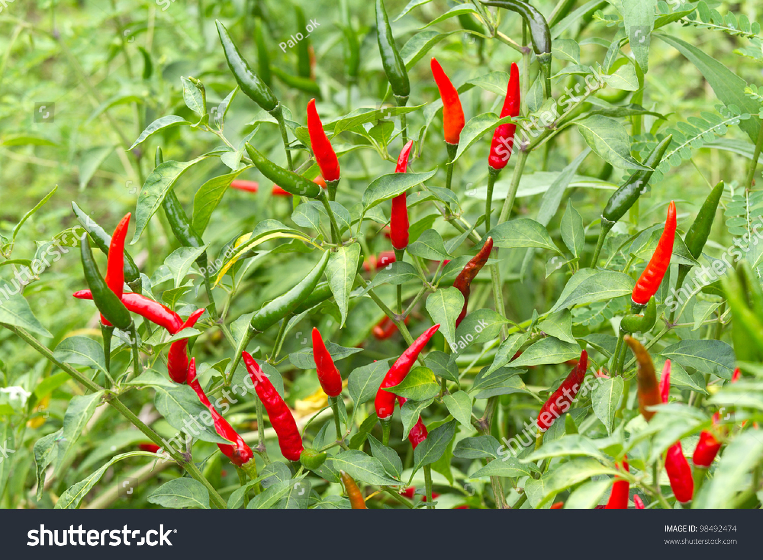 Red Chili Pepper On The Plant Stock Photo 98492474 ...