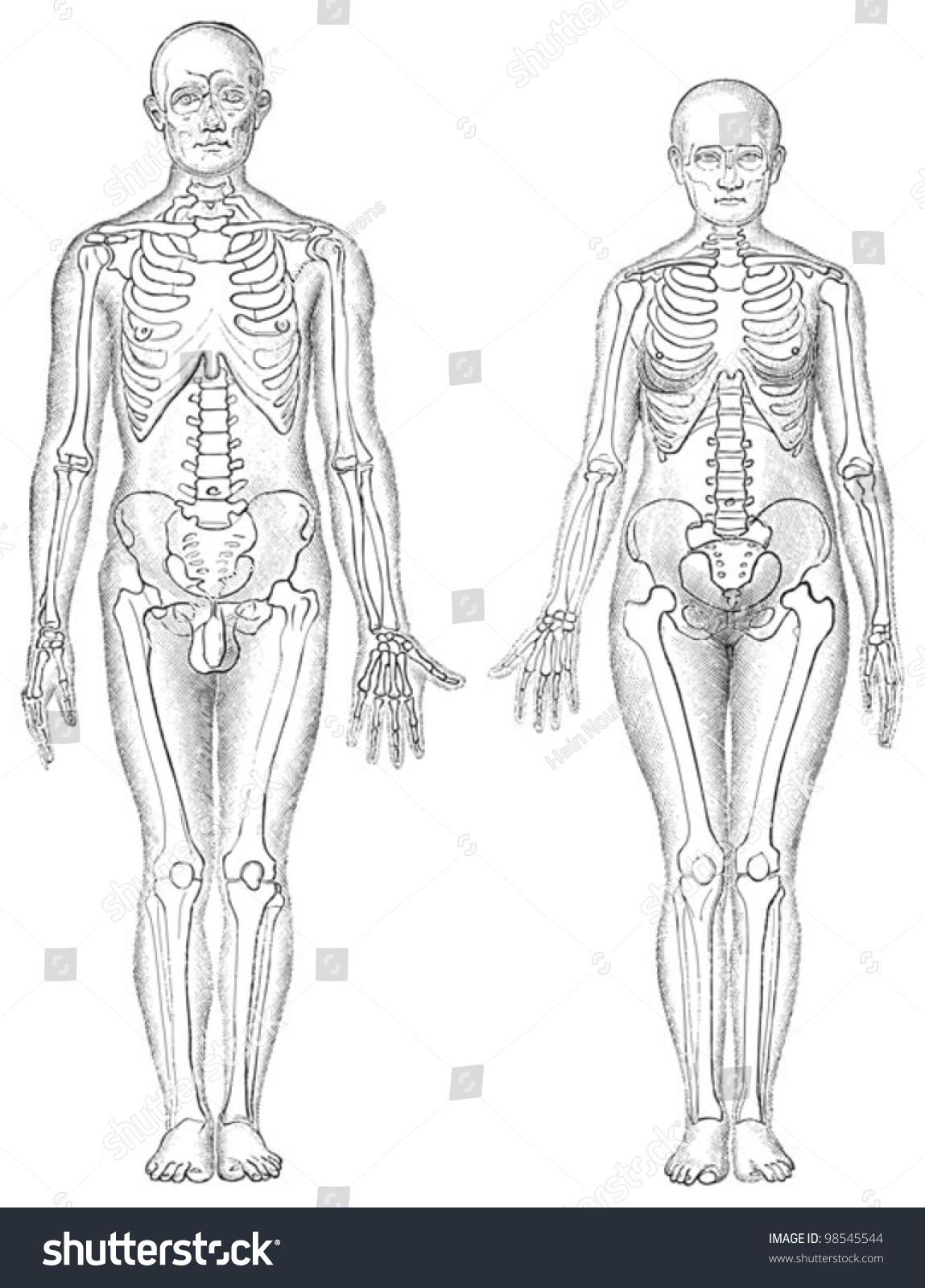 Human Anatomy Man Left Woman Right Stock Vector (Royalty Free ...