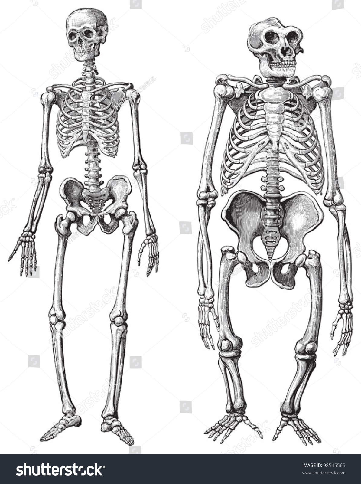 Human Left Gorilla Right Skeleton Vintage Stock Vector HD (Royalty ...