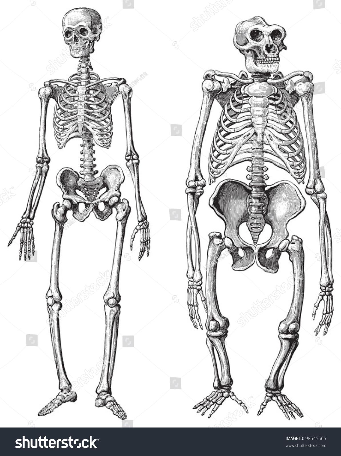 Human Left Gorilla Right Skeleton Vintage Stock Vector HD (Royalty ...