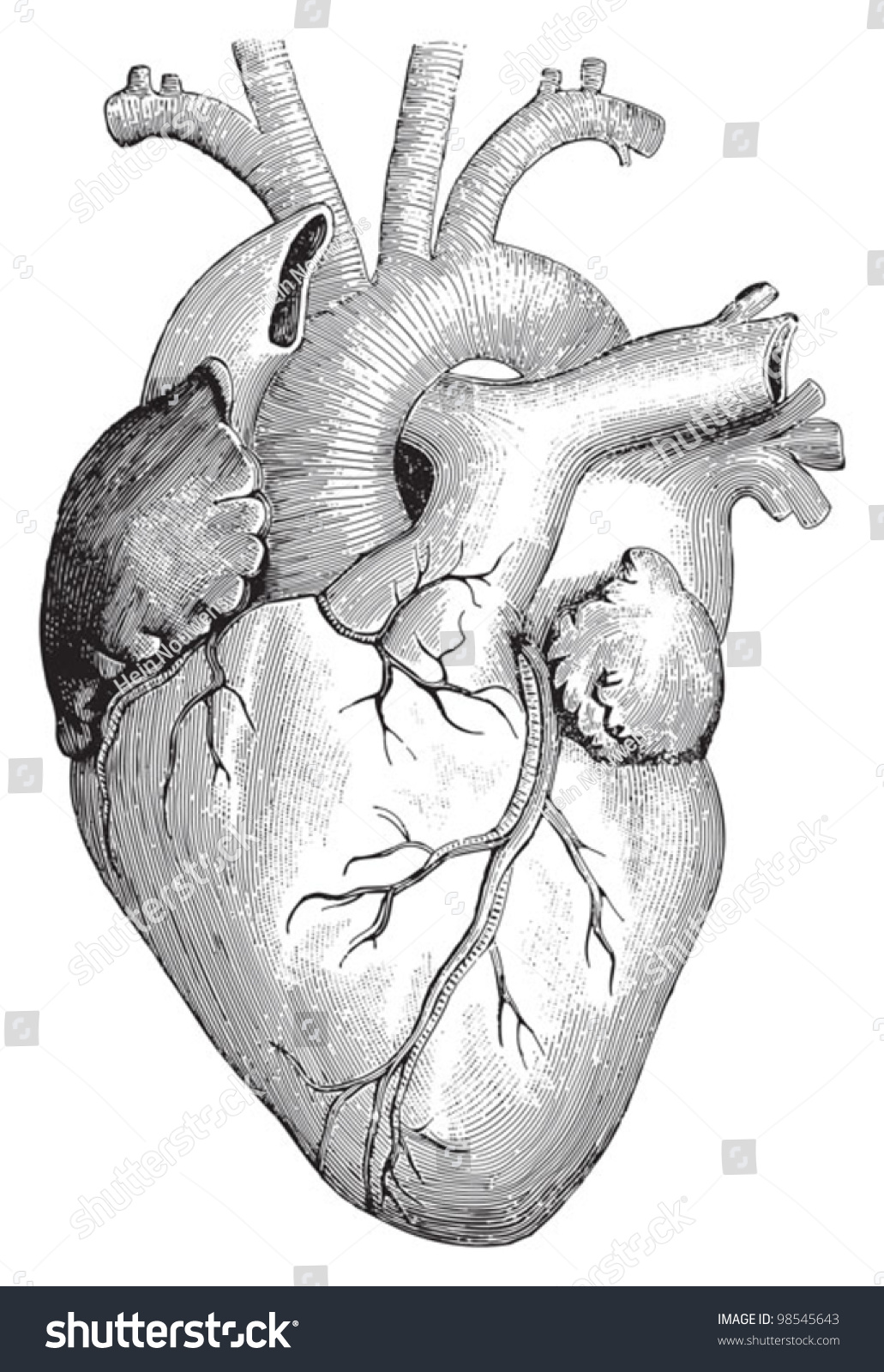 Human Heart Vintage Illustrations Die Frau Stock Vector 98545643 ...