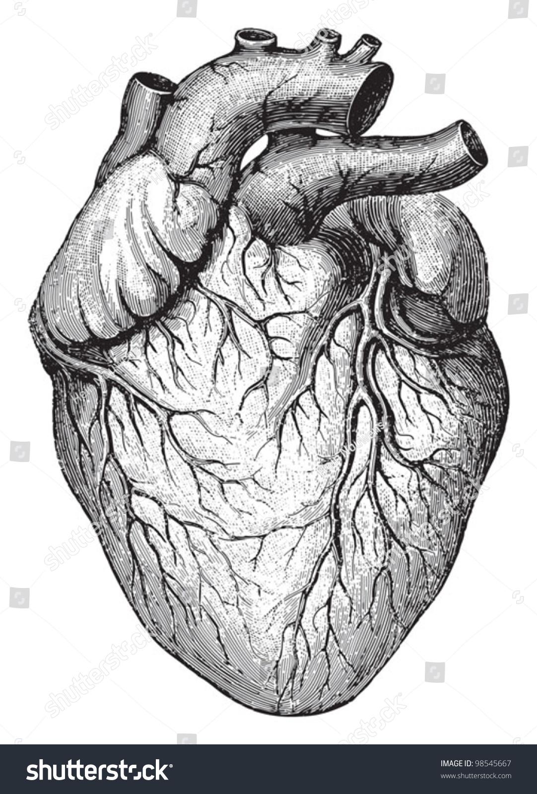Human Heart Vintage Illustrations Die Frau Stock Vector 98545667 ...